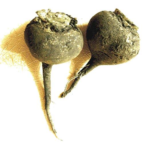 Два корнеплода