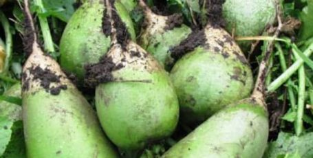 Маргеланская редька — особенности выращивания и ухода