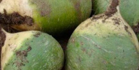 Зеленая редька — рецепты салатов с корнеплодом